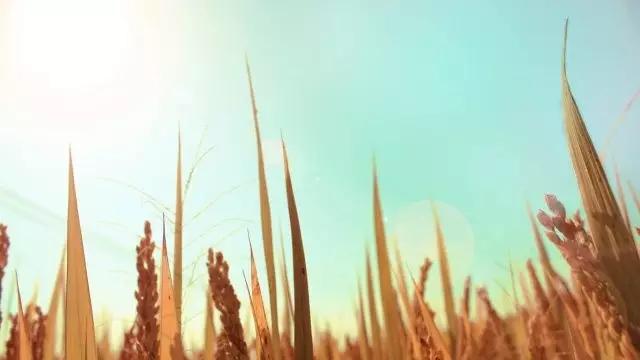 【探庐·温州】竹里云溪|山野间的稻谷香